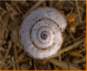 Snail Shells Canvas Art Print