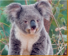 Koala Bear Canvas Art Print