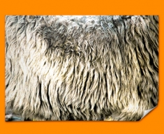 Sheep Animal Skin Poster