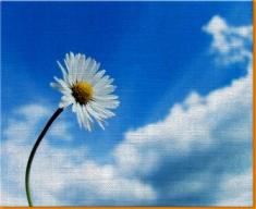 Sky Daisy Canvas Art Print