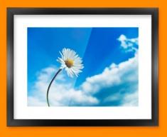 Sky Daisy Framed Print