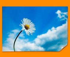 Sky Daisy Poster