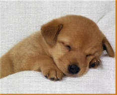 Sleeping Puppy Canvas Art Print