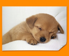 Sleeping Puppy Poster