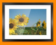 Sun Flowers Framed Print
